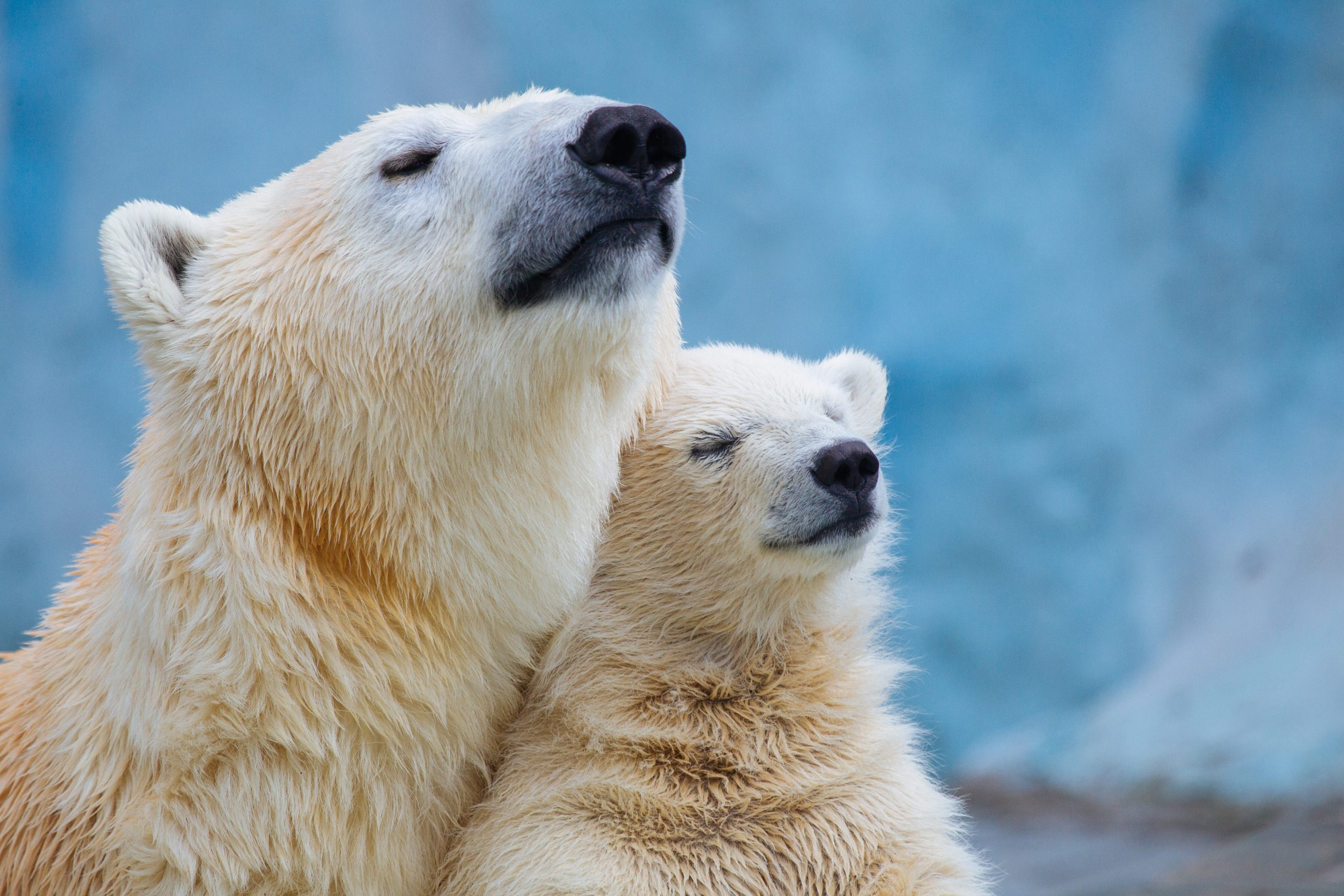 Why polar bears are increasingly vulnerable to global warming